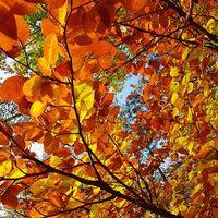 Bunt gefärbte Buchenblätter im Herbst im Abendlicht