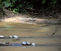 Wild caiman and turtles in Ecuadorian Amazonia, Misahualli