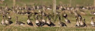 Blaessgaense, Anser albifrons, White fronted geese