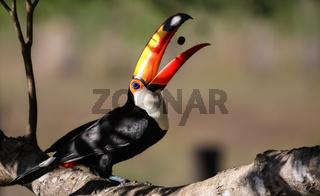 Riesentukan im Pantanal, Brasilien