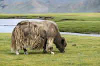 Grasendes hellbraunes Yak (Bos mutus) mit langhaarigem Fell, Mongolei