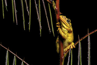 Männchen des Jordan's casque-headed tree frog
