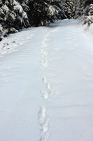 wild wolf tracks in big snow in Apuseni mountains
