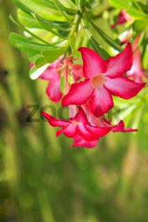 Closeup of Desert Rose Tropical flowers.