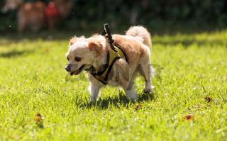 Small blond Chihuahua mixed breed dog