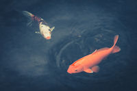 two fishes - colorful koi carp in dar water