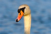 portrait of wild mute swan over blue out of focus colorful background ( Cygnus olor )