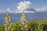 Kerzen-Palmlilie mit Gardasee
