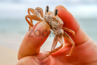 Tiny crab in human hand