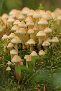Gruenblaettriger Schwefelkopf (Hypholoma fasciculare)