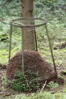 Bau der Waldameise