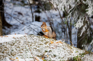 Squirrel at winter