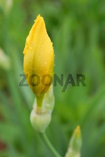 yellow iris flower