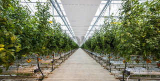 Great Tomato Nursery