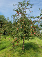 Adams Parmaene, Apfel, Malus, domestica