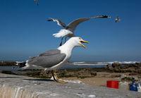 Seagull close up in Essaouira