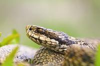 macro portrait of venomous viper