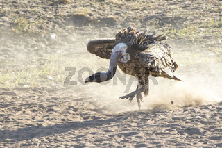 Ruppells Griffon Vulture bouncing on the sand by the river in a threatening posture