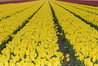 Blühendes Tulpenenfeld gelber Tulpen in der Blumenzwiebelregion Bollenstreek,Niederlande