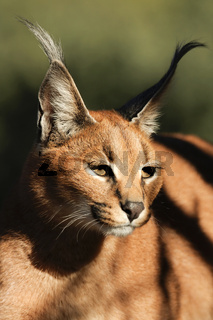 Caracal-Karakal-South Africa - captive