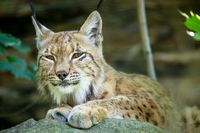 portrait of Lynx female