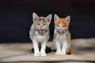 Pair of beautiful kittens, Pune