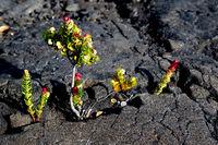 Pflanze auf Lavafelsen