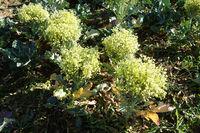 Brassica oleracea var. italica, Brokkoli, broccoli, bluehend, flowering