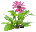 Pink Gerbera flower on a bed