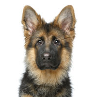 beautiful german shepard puppy