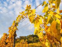 Weinlaub im Weingarten im Herbst