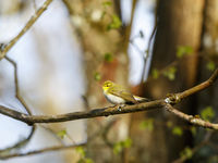 Wood Warbler at spring in a woods
