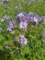 Phacelia, tanacetifolia, Gruenduengung, Heilpflanze