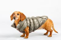 adorable small dog Dachshund with winter cloth