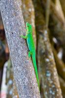 La Digue Taggecko (Phelsuma sundbergi ladiguensis)