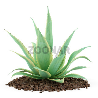 aloe plant isolated on white background