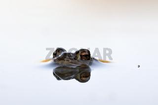 Störenfried im Anmarsch... Erdkröte *Bufo bufo*