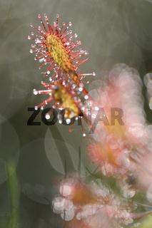 Mittlerer Sonnentau (Drosera intermedia)2.jpg