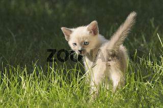 Siam-Katzenbaby