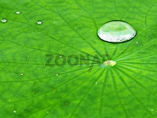 dew drop in green leaf