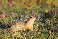 european ground squirrel in natural habitat ( Spermophilus citellus )