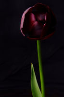 Tulpe Frontal