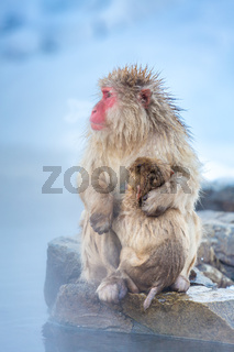 Snow monkey Macaque Onsen