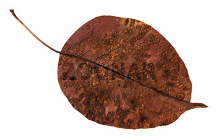 back side of decayed autumn leaf of pear tree