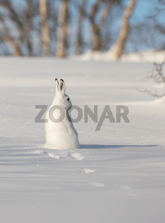 The mountain hare, Lepus timidus, in winter pelage, sitting in snow, looking right, in the snowy winter landscape with birch trees and blue sky, in Setesdal, Norway, vertical image