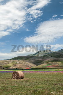 The flowering of Castelluccio under a blue sky