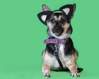Funny dog mongrel with cat's toy ears on green background