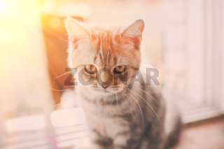 pets, close up of unhappy angry scottish fold kitten on home background