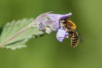 Wildbiene an Katzenminze