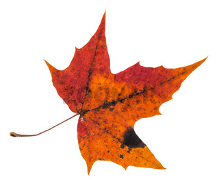 pied red autumn leaf of maple tree isolated